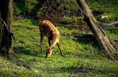 Sitatunga在动物园,布拉索夫里 免版税库存图片