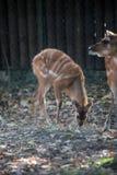 Sitatunga,非洲羚羊类speki 免版税库存照片