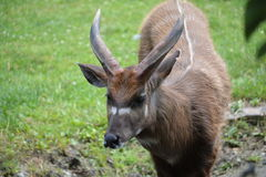 Sitatunga, marshbuck (非洲羚羊类spekii) 图库摄影