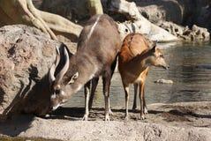 Sitatunga -非洲羚羊类spekeii 免版税库存照片
