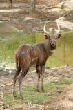 Sitatunga. Male sitatunga,antelope from africa Royalty Free Stock Photography