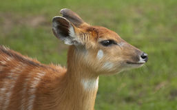 Sitatunga Royalty Free Stock Photo