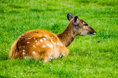 Sitatunga Stock Photos