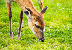 Sitatunga Stock Photography