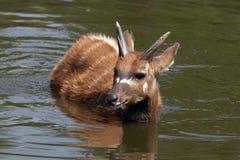 Sitatunga (antílope del pantano) en el agua Foto de archivo