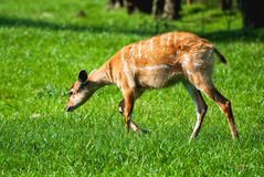 Sitatunga Antelope Stock Photography