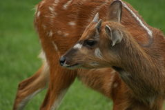 Sitatunga Antelope Royalty Free Stock Photo