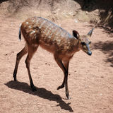 Sitatunga Antelope Stock Photos