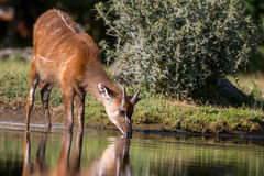 Sitatunga antelope drinking from a pond Stock Images