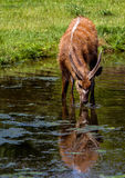 Sitatunga antelope drinking from a pond. royalty free stock photo