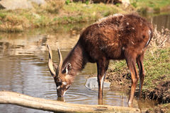 Sitatunga Royalty Free Stock Photos