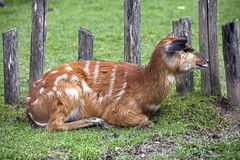 Sitatunga 16 Royalty Free Stock Images