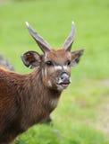 Sitatunga antelope - Marshbuck antelope Stock Photography