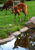 Sitatunga Antelope is reflected in the water pond. Royalty Free Stock Images