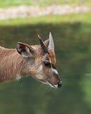 Sitatunga antelope - Tragelaphus spekii Stock Image