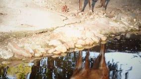 Sitatunga antilope stock footage