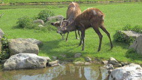 Sitatunga butting horns stock video