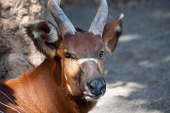 Sitatunga Royalty Free Stock Image