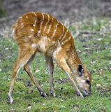 Sitatunga 3 Royalty Free Stock Image