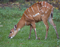 Sitatunga 4 Royalty Free Stock Image