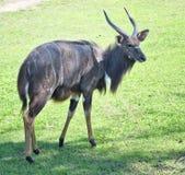 Sitatunga on grass Royalty Free Stock Image