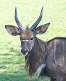 Sitatunga on grass Stock Images