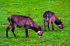 Sitatunga grazing in the Savannah Stock Photo