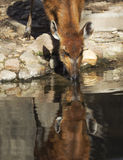 Sitatunga head reflected in water Royalty Free Stock Images