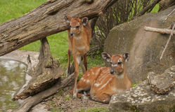 Sitatunga Royalty Free Stock Images