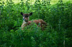Sitatunga Deer Stock Photo