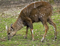 Sitatunga 2 Royalty Free Stock Image