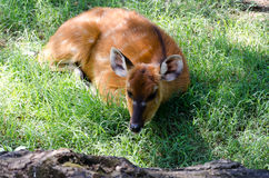 Sitatunga (Marshbuck). The sitatunga or marshbuck (Tragelaphus spekii) is a swamp-dwelling antelope found throughout Central Africa, centering on the Democratic Stock Images