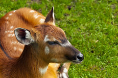 Sitatunga or marshbuck. A closeup of the head of a sitatunga (marshbuck Royalty Free Stock Image