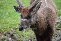 Sitatunga, marshbuck (spekii do Tragelaphus) Imagens de Stock