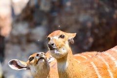 Sitatunga or Marshbuck (Tragelaphus spekii) Antelope Stock Images