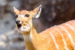 Sitatunga or Marshbuck (Tragelaphus spekii) Antelope. In Central Africa Stock Photography
