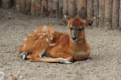 Sitatunga or marshbuck (Tragelaphus spekii) Royalty Free Stock Photo