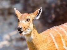 Sitatunga or Marshbuck (Tragelaphus spekii) Antelope Stock Photos