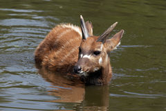 Sitatunga (moerasantilope) in het water Stock Foto