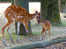 Sitatunga mother and baby Stock Images