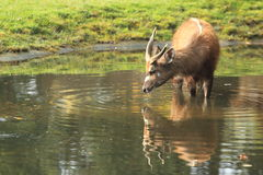 Sitatunga ocidental Imagem de Stock Royalty Free