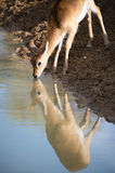 Sitatunga Reflected Royalty Free Stock Photography