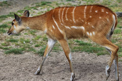Sitatunga. Standing in a field Royalty Free Stock Image