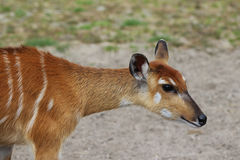Sitatunga. Standing in a field Royalty Free Stock Images