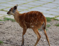 Sitatunga. Standing in a field Stock Photos