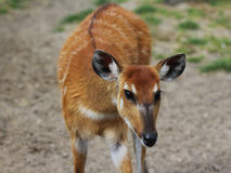Sitatunga. Standing in a field Royalty Free Stock Photography