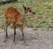 Sitatunga. Standing in a field Stock Images