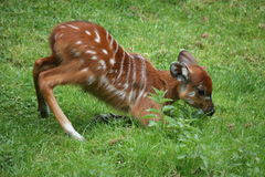Sitatunga suckling Royalty Free Stock Photo