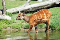 Sitatunga (Sumpfantilope) Stockbild