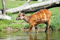 Sitatunga (Swamp antelope) Stock Image